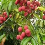 Litchi output expected to decline this Season