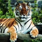 Fisherman killed in a Surprise Attack by Bengal Tiger in Sunderban Forest
