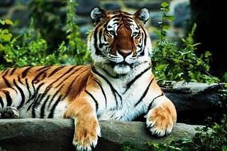 A Royal Bengal Tiger at Valmiki Tiger Reserve in Bihar